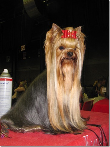 Show news - Kendos Yorkshire Terrier